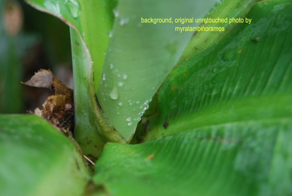 banana-leaf.jpg